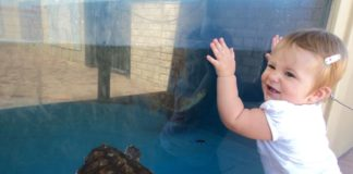 Happy toddler hangs off of glass at aquarium. There is a turtle swimming behind the glass.